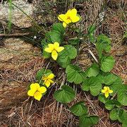 Viola montana gialla