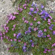 Cuscinetto con Linaria (viola) e Androsace alpina