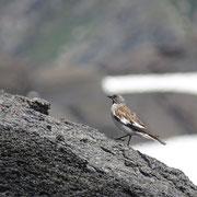 Fringuello alpino ♂