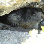 Marmotta (foto Luciano)