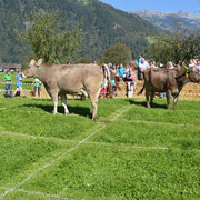 eine Kuh hat ihr Feld gefunden