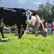 Die Kühe suchen sich einen Platz zum hinscheissen