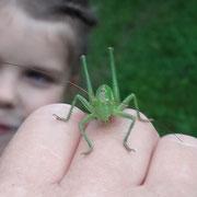 """Ein grüner """"Heuhüpfer"""" landet auf der Hand.  NAJU-Foto"""