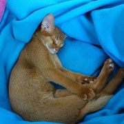 Liam du Red Carpet - Chaton mâle Abyssin de couleur Cinnamon Ticked Tabby (Sorrel)