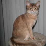Triffid Van Gebrook, Somali Bleu Tortie appartenant à la chatterie Van Gebrook http://www.catterygebrook.nl/
