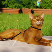 DIFFERENCE'S Irrésistible - Mâle Abyssin de couleur Cinnamon Ticked Tabby (Sorrel). (Chatterie du Red Carpet)