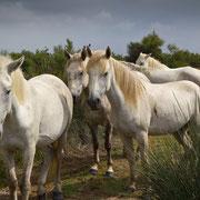 Die weißen Pferde der Camargue