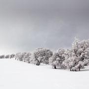 Die Windbuchen vom Schauinsland, Schwarzwald