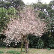 梅が咲けば春まであとわずか