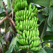 Vollaromatisch die Bananen von Madeira