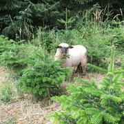 Shropshire-Schafe dienen als Öko-Rasenmäher in der Weihnachtsbaumkultur.