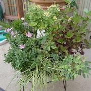 豊田ガーデンの苗、ミニバラ、コデマリ他4月植え付けなので乱れています。