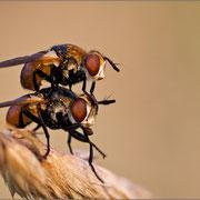 Dickkopffliegen Paarung