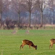 noch stehen die Rehe in Sprüngen auf den Wiesen Frühjahr 2011