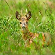 junger Rehbock im hohen Gras