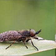 Bremse, auch Blinde Fliege genannt