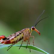 Skorpionsfliege,männlich