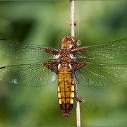 Plattbauchlibelle ♀