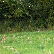 wo sich Fuchs und Hase gute Nacht sagen......