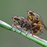 Dungfliegen Paarung
