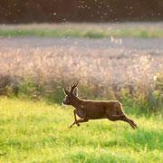 Rehbrunft -  der Bock auf der Suche nach der Ricke