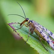 Skorpionsfliege, weiblich