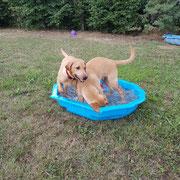 Labrador Welpen G-Wurf