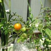 ウェル畑ミニトマト