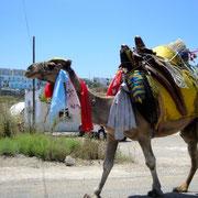Bekannt sich die Kamele von Gümüslük, die eigens zur Abhaltung jährlicher Kamelkämpfe gehalten werden (eigentlich sind es Dromedare)