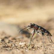 #009 - Dünen-Sandlaufkäfer (Cicindela hybrida)