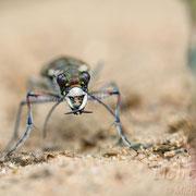 #001 - Dünen-Sandlaufkäfer (Cicindela hybrida)