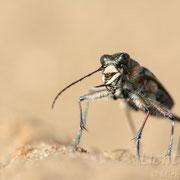 #008 - Dünen-Sandlaufkäfer (Cicindela hybrida)