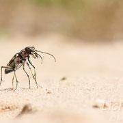 #011 - Dünen-Sandlaufkäfer (Cicindela hybrida)