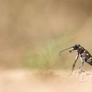 #007 - Dünen-Sandlaufkäfer (Cicindela hybrida)