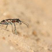 #012 - Dünen-Sandlaufkäfer (Cicindela hybrida)