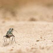 #013 - Dünen-Sandlaufkäfer (Cicindela hybrida)
