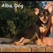Foto perro raza chihuahua hembra pelo corto negro-fuego