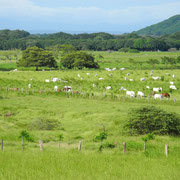 Brahmann cattle near Santa Cruz