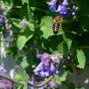 Biene auf Bartblume