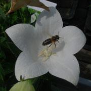 Biene auf Ballonblume