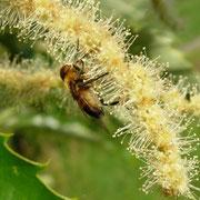 Fliege auf Kastanienblüte