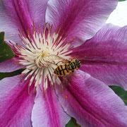 Schluofwespe auf einer Klematisblüte