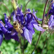 Biene auf Akalei