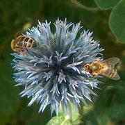 Biene auf einer Kugeldistel