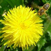 Biene fliegt einen Löwenzahn an