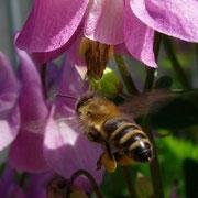 Biene fliegt eine Akalei-Blüte an