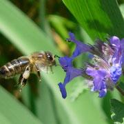 Biene fliegt eine Bartblume an