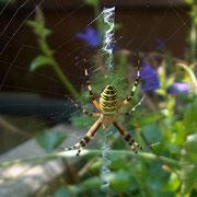 getigerte Spinne
