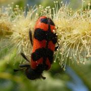 Käfer (?) auf Kastanienblüte