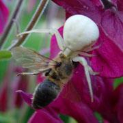 Eine Spinne hat eine Biene gefangen auf einer Akalei